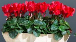 На фото цикламен персидский Cyclamen persicum Verano Red (Super Verano Series)