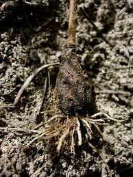 На какую глубину сажать луковицы калохортуса фото