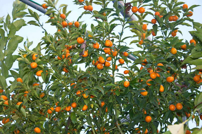 Нагами кумкват Nagami Kumquat или Fortunella margarita фото