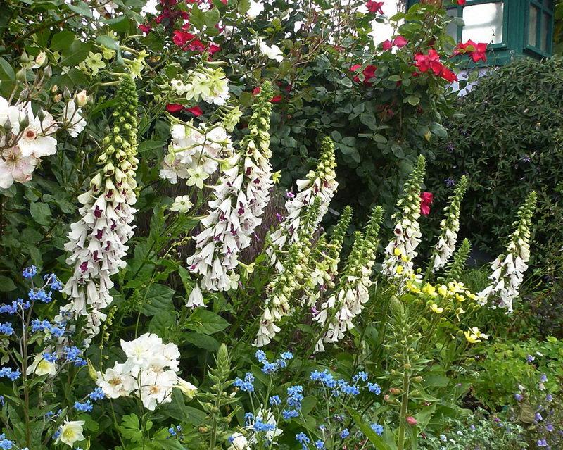 Наперстянка в ландшафтном дизайне на фото сорт Digitalis purpurea Pantaloons Pam s Choice Split