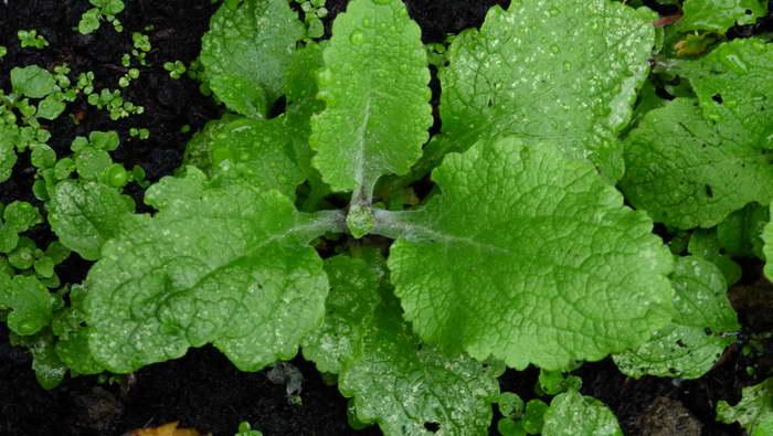 Наперстянка выращивание из семян когда сажать в открытый грунт фото всходов