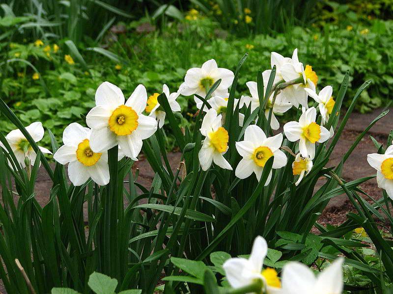 Нарцисс крупнокорончатый фото