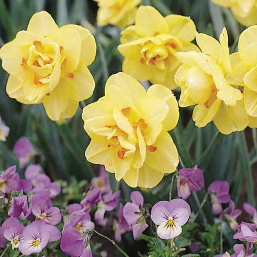 Нарцисс махровый сорт Narcissus Tahiti фото