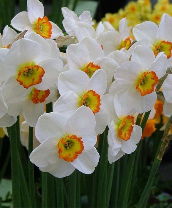 Нарцисс мелкокорончатый фото