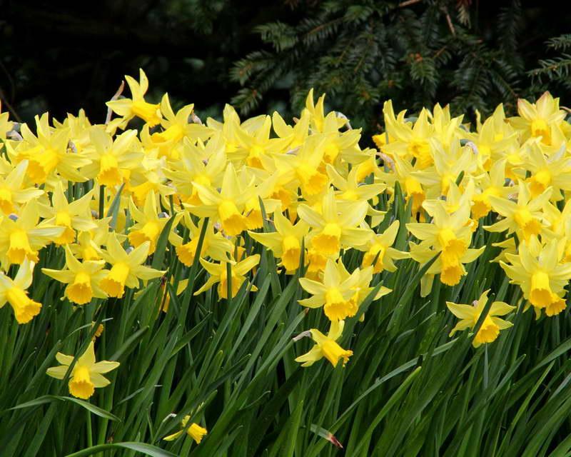 Нарцисс цикламеновидный сорт Narcissus February Gold фото