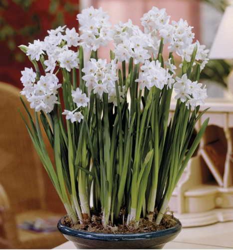 Нарцисс цветок фото домашних условиях Посадка и уход