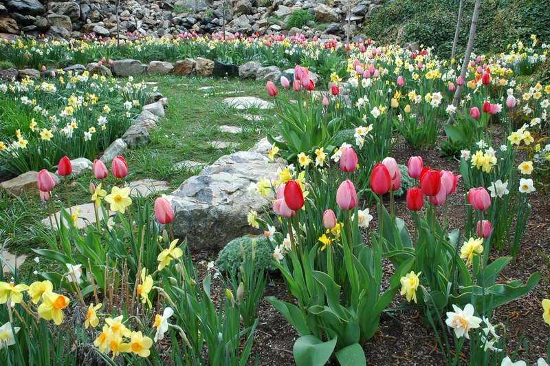 Нарциссы и тюльпаны фото