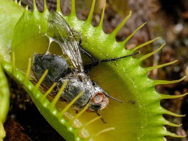 Насекомоядные растения венерина мухоловка фото