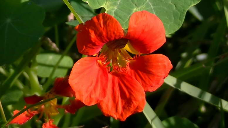 Настурция фото цветов Выращивание настурции из семян в открытом грунте