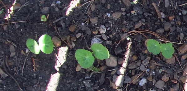 Настурция выращивание из семян когда сажать Фото всходов