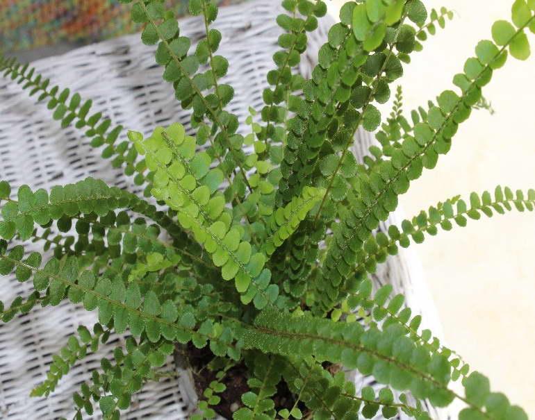 Нефролепис сердцелистный Nephrolepis cordifolia 'Duffii' фото