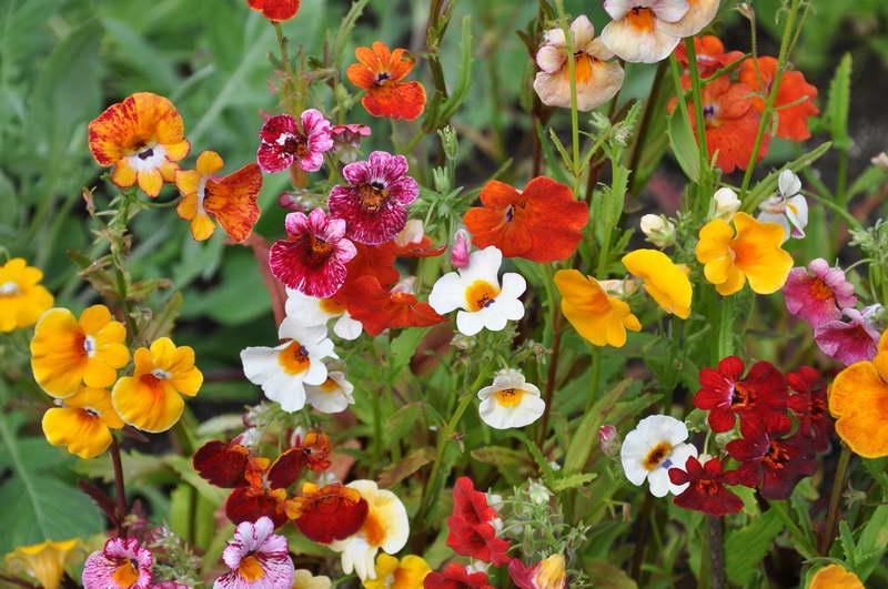 Немезия фото цветов на клумбе