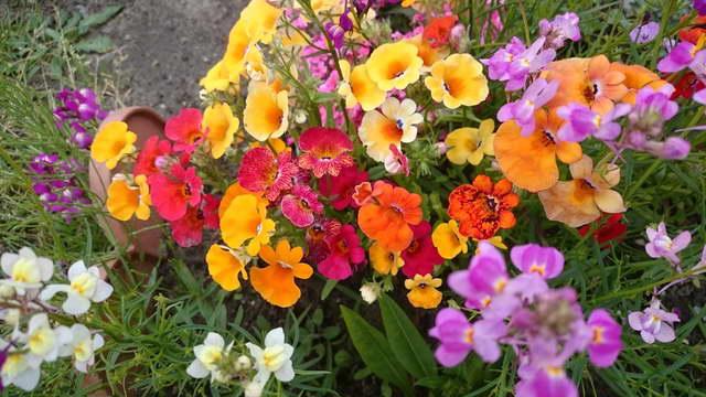 Немезия фото в саду Посадка и уход