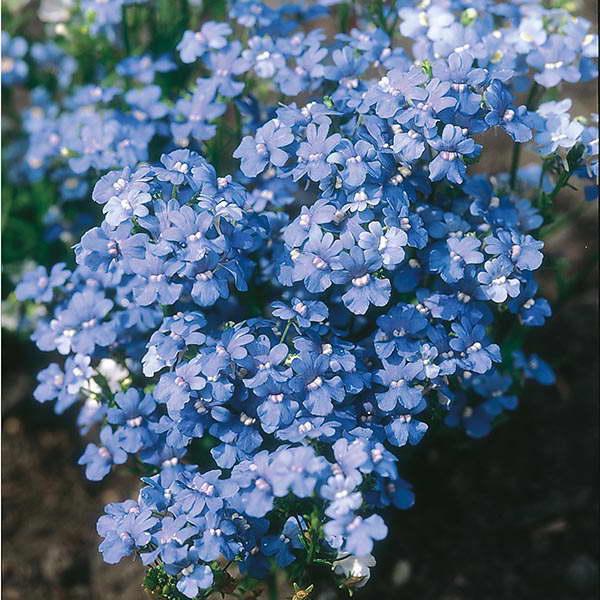 Немезия пышноцветущая Nemesia floribunda фото цветов