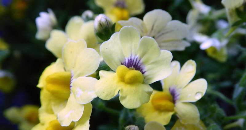 Немезия разноцветная Nemesia versicolor фото