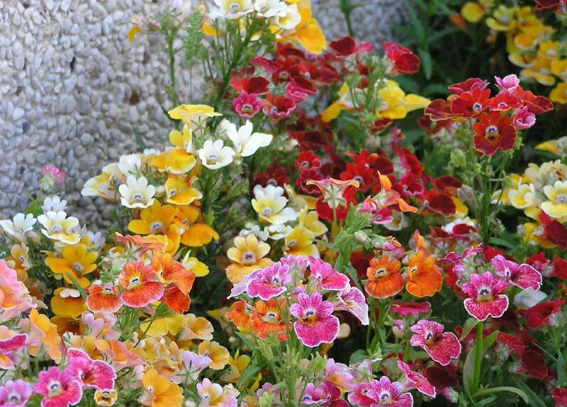 Немезия в ландшафтном дизайне фото цветов