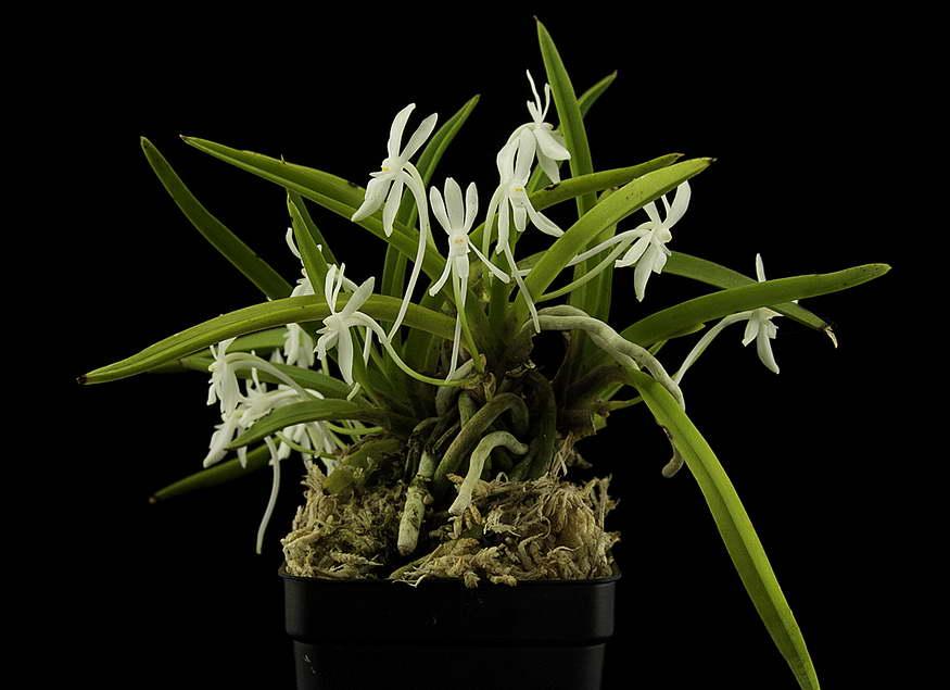 Неофинетия Ксичейнженсис Neofinetia xichangensis фото