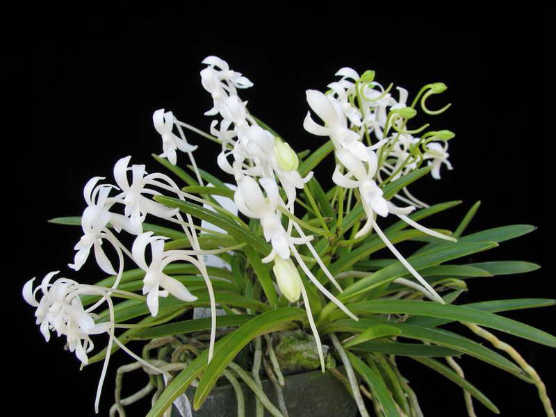 Неофинетия Neofinetia falcata 'Setsuzan' фото