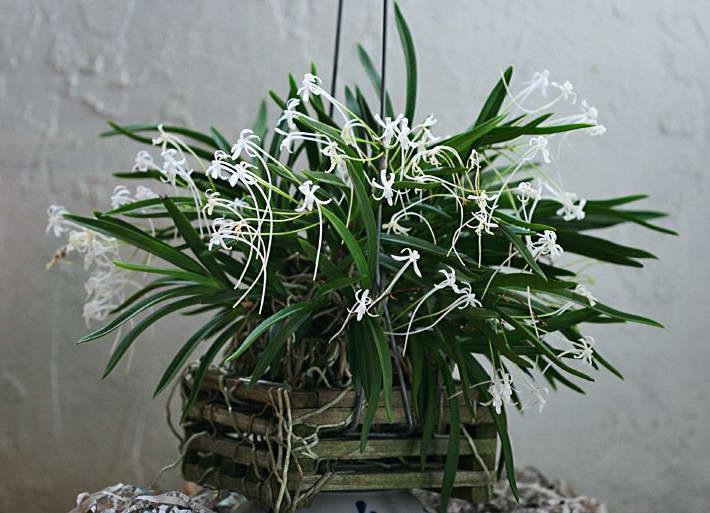 Неофинетия фальката Neofinetia falcata 'Cosmo' фото