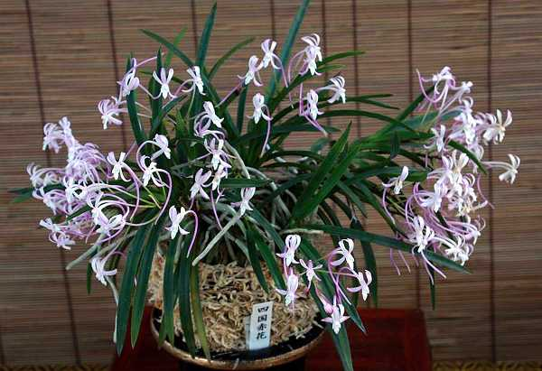 Неофинетия фальката Neofinetia falcata 'Shikoku Akabana'