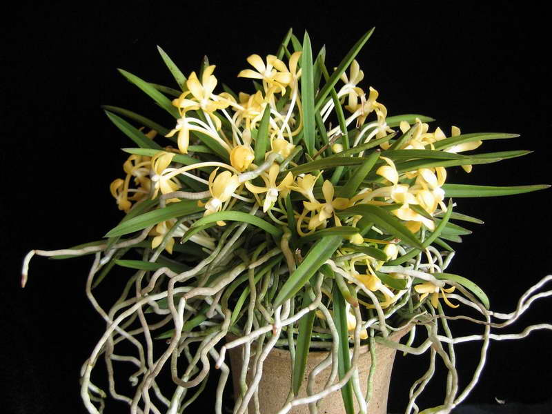 Неофинетия ричардсиана Neofinetia richardsiana фото