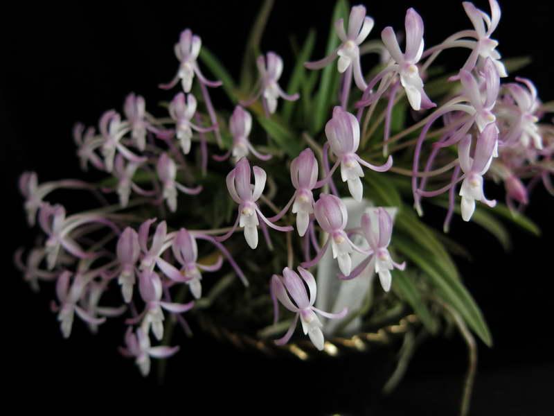 Неофинетия серповидная или неофинетия фальката Neofinetia falcata сорт Toyozakura фото