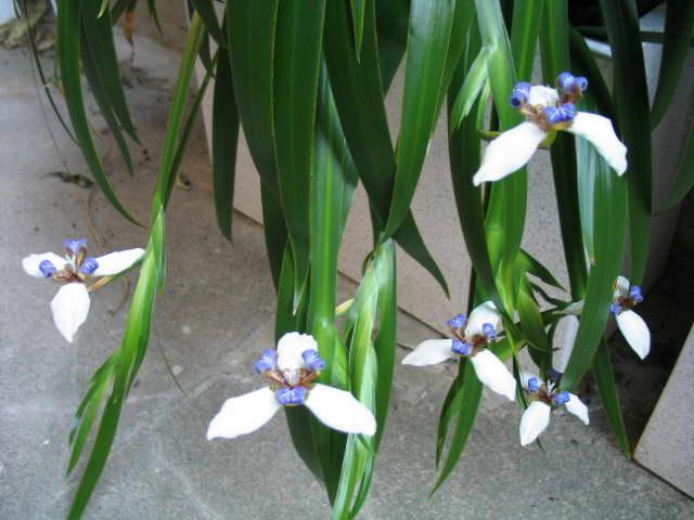 Неомарика Neomarica Caerulea фото в домашних условиях