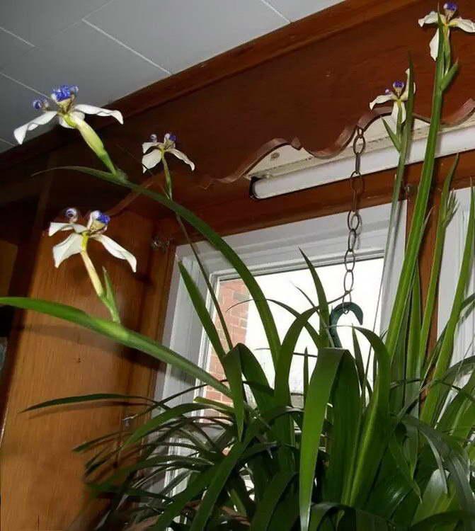 Неомарика стройная фото в домашних условиях