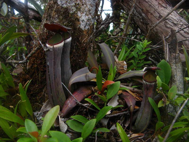 Непентес белоокаймлённый Nepenthes albomarginata фото
