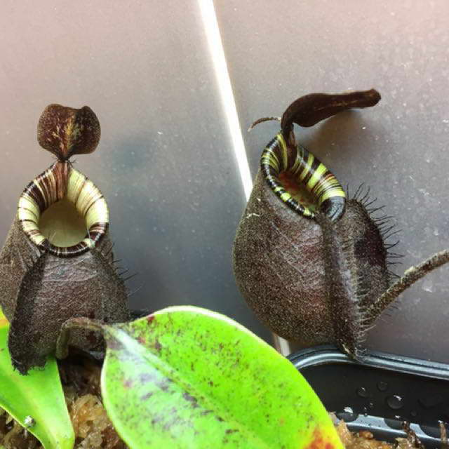 Непентес бутылочный Nepenthes ampullaria фото