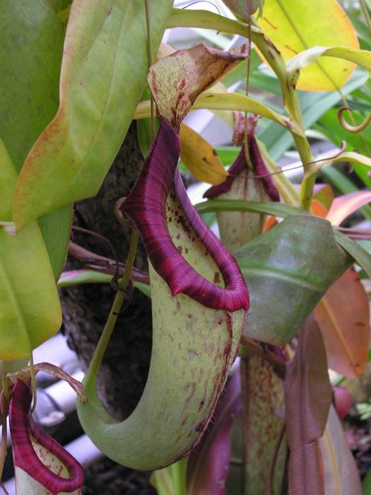 Непентес смешанный Nepenthes x mixta фото