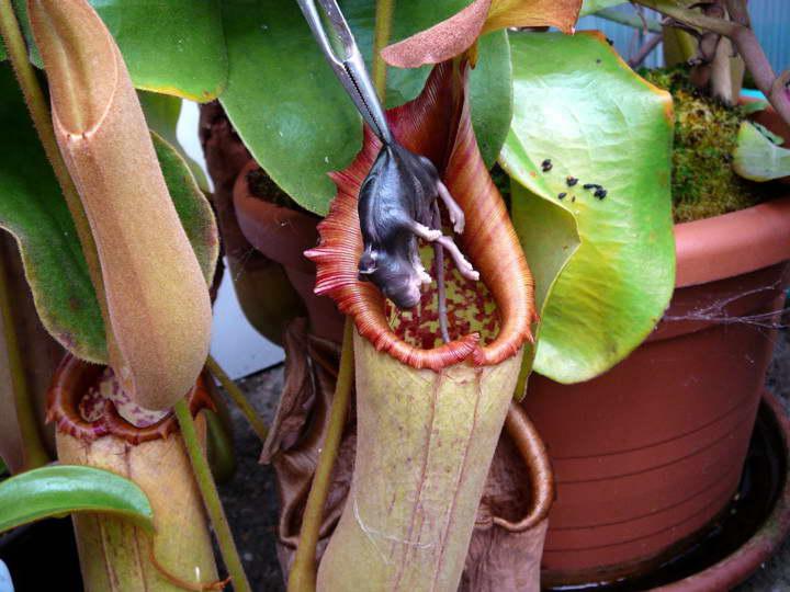 Непентес усеченный Nepenthes truncata фото