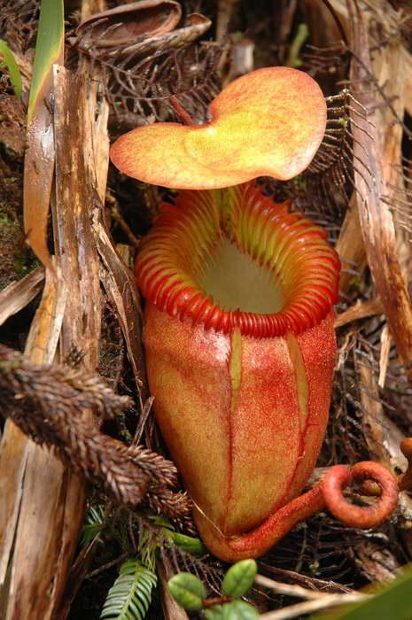 Непентес волосатый Nepenthes villosa фото