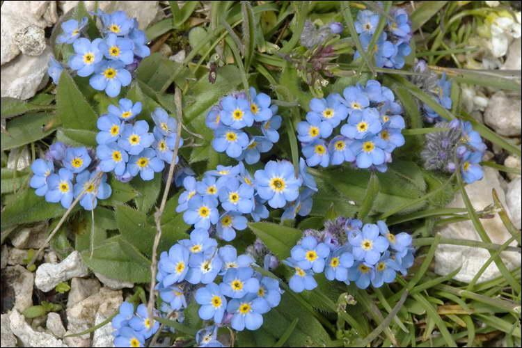Незабудка альпийская смесь выращивание из семян в домашних условиях
