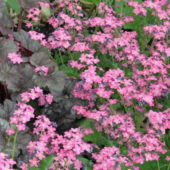 Незабудка болотная розовая