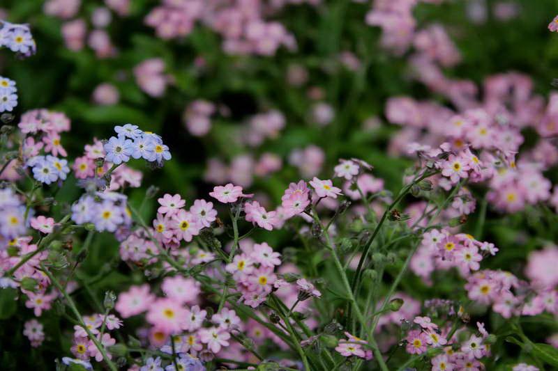 Незабудка садовая розовая фото