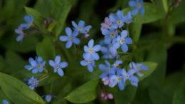 Незабудки цветы выращивание из семян в домашних условиях Посадка и уход в открытом грунте