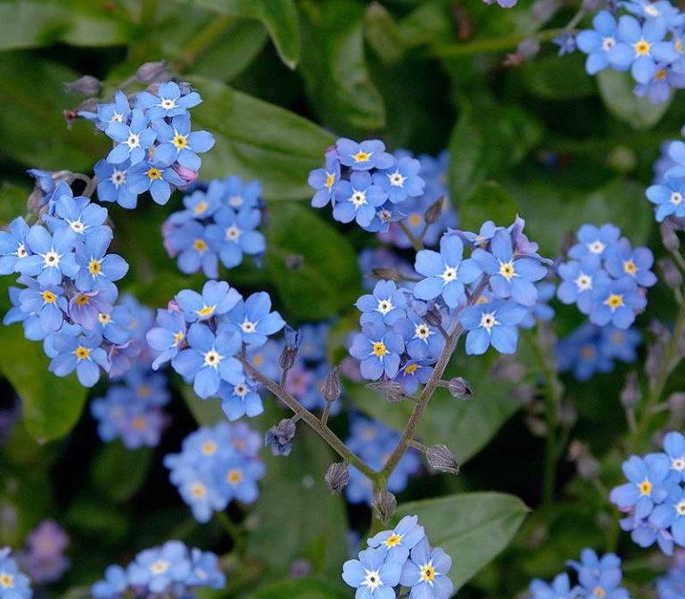 мелкие голубые цветы названия и фото этом камера должна