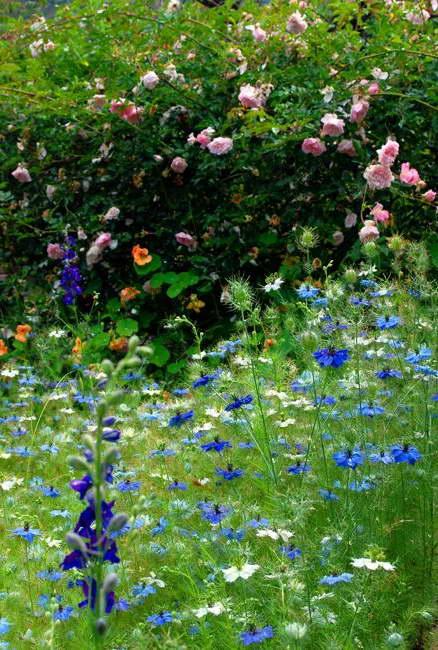 Нигелла Дамасская и плетистые розы фото