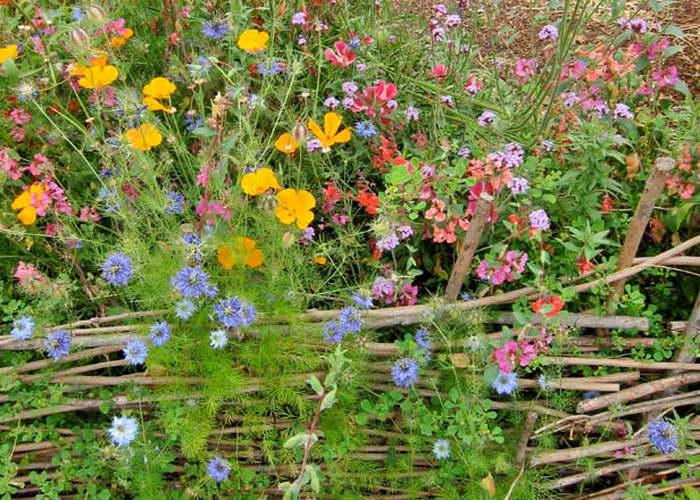Нигелла Дамасская в саду фото