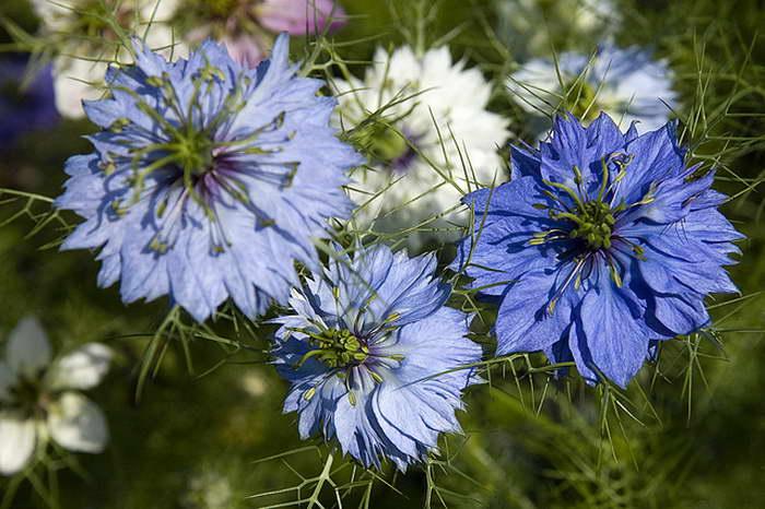 Нигелла цветок персидские драгоценности посадка уход