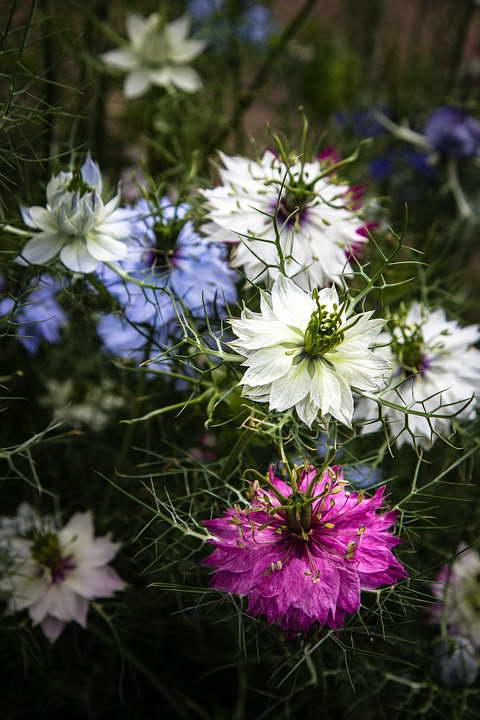 Нигелла дамасская в цвету фото