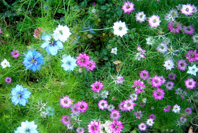 Нигелла фото цветов в саду