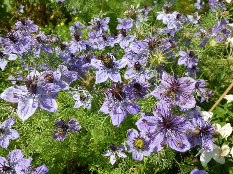 Нигелла испанская Nigella hispanica фото