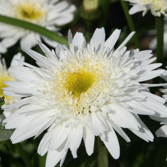 Нивяник Виррал суприм Leucanthemum × superbum 'Wirral Supreme' фото