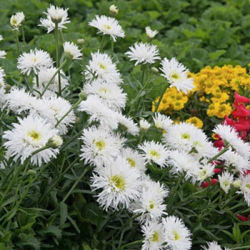 Нивяник крейзи дейзи Leucanthemum crazy daisy фото