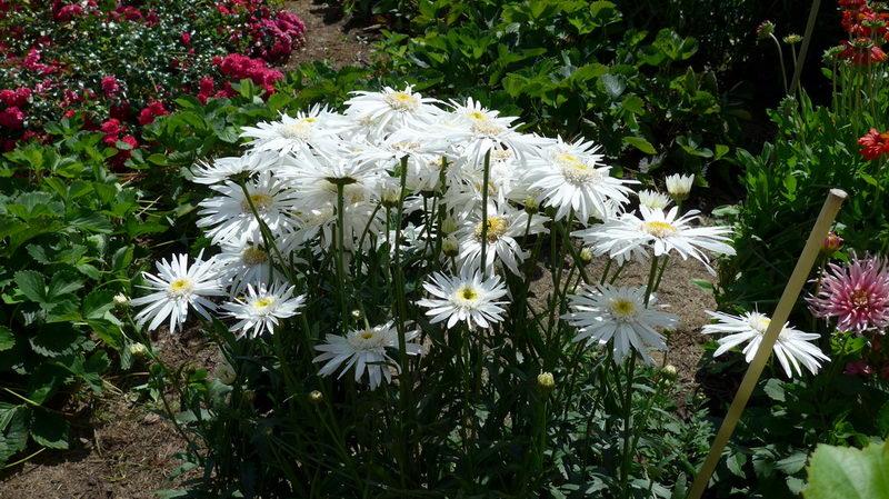 Нивяник садовый фото клумбы