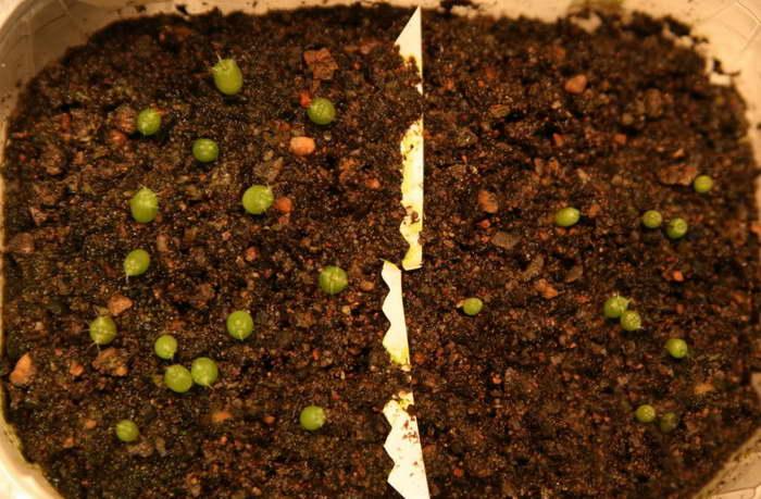 Нотокактус из семян фото всходов