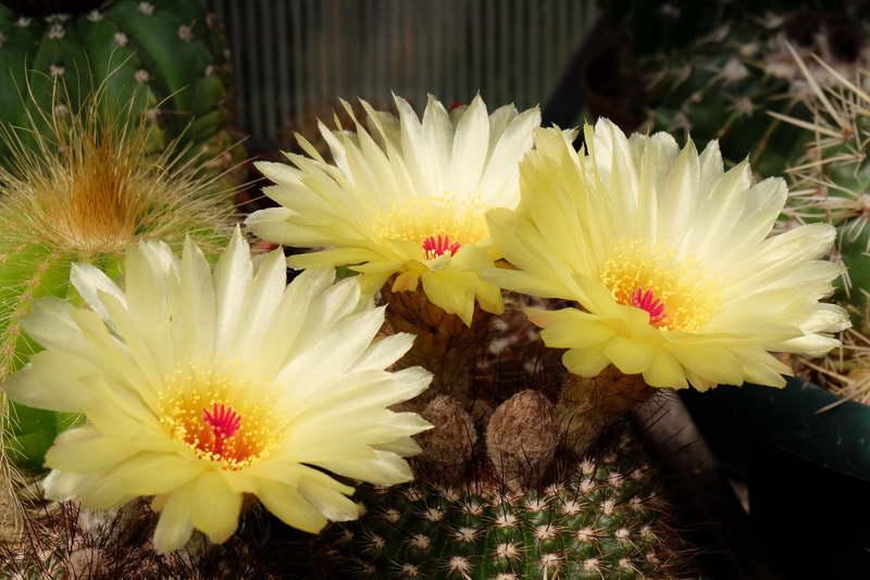 Нотокактус плитчатый или плоский Notocactus tabularis фото