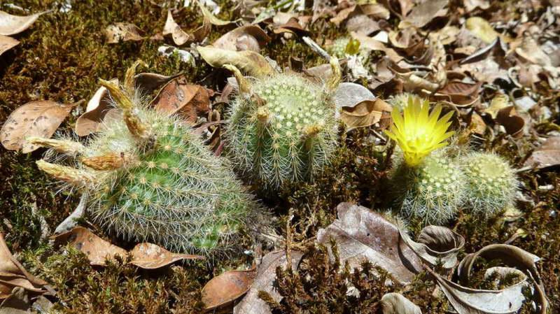 Нотокактус рехский Notocactus rechensis фото